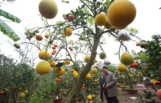Trồng cây 11 loại quả bán dịp Tết - Ảnh 2.