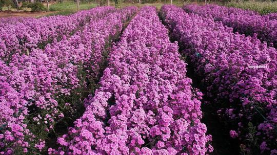 Vườn hoa thạch thảo đang gây sốt ở Bà Rịa - Vũng Tàu - Ảnh 2.