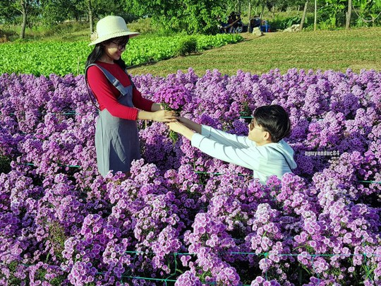 Vườn hoa thạch thảo đang gây sốt ở Bà Rịa - Vũng Tàu - Ảnh 4.