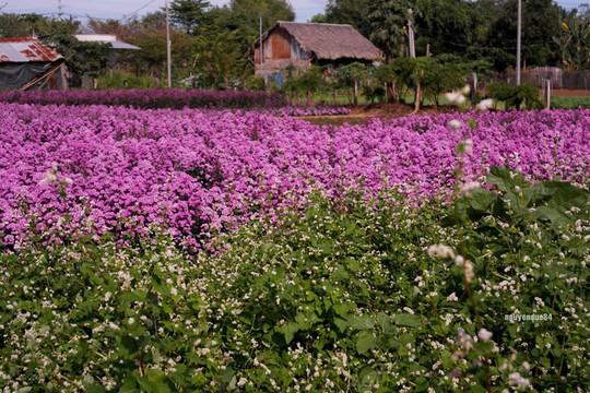 Vườn hoa thạch thảo đang gây sốt ở Bà Rịa - Vũng Tàu - Ảnh 5.