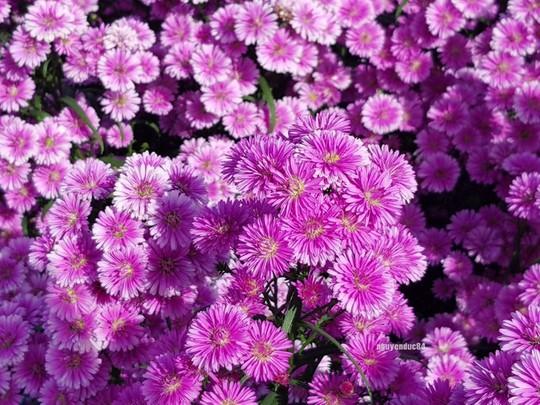 Vườn hoa thạch thảo đang gây sốt ở Bà Rịa - Vũng Tàu - Ảnh 6.