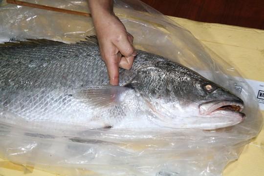 Bắt được cá lạ nghi cá sủ vàng quý hiếm dài gần 1 m - Ảnh 2.
