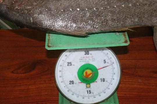 Bắt được cá lạ nghi cá sủ vàng quý hiếm dài gần 1 m - Ảnh 4.