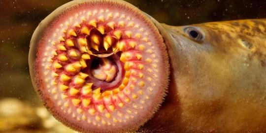 Cận cảnh cá ma cà rồng chữa bệnh cho người - Ảnh 4.