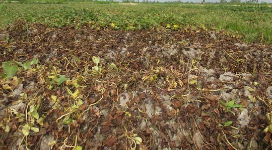 Kẻ gian phun thuốc diệt cỏ khiến khoai lang chết sạch - Ảnh 1.