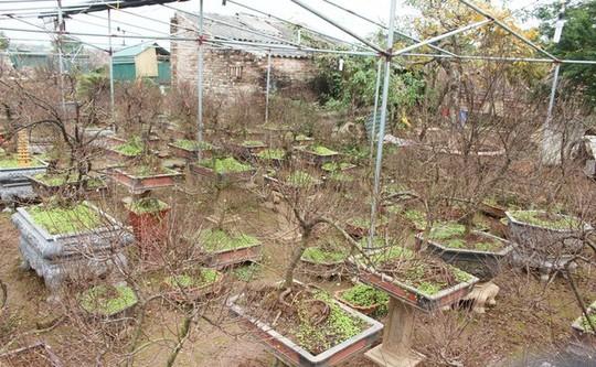 Vườn mai trắng độc đáo hiếm có ở Hà Nội - Ảnh 1.