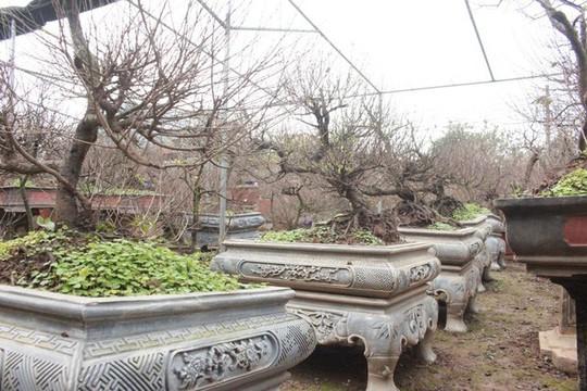 Vườn mai trắng độc đáo hiếm có ở Hà Nội - Ảnh 2.