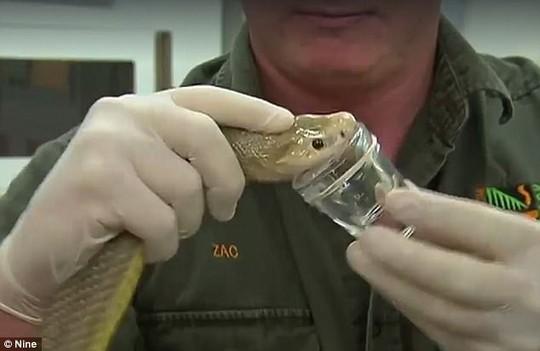 Cận cảnh rắn Taipan có nọc độc cắn một nhát chết 100 người - Ảnh 2.