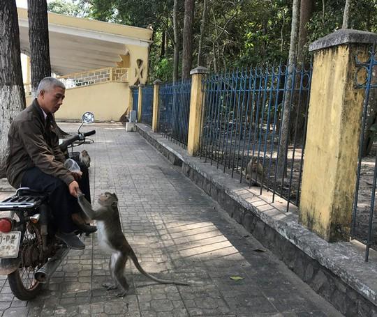 Khỉ liên tục tấn công người ở Tây Ninh - Ảnh 2.