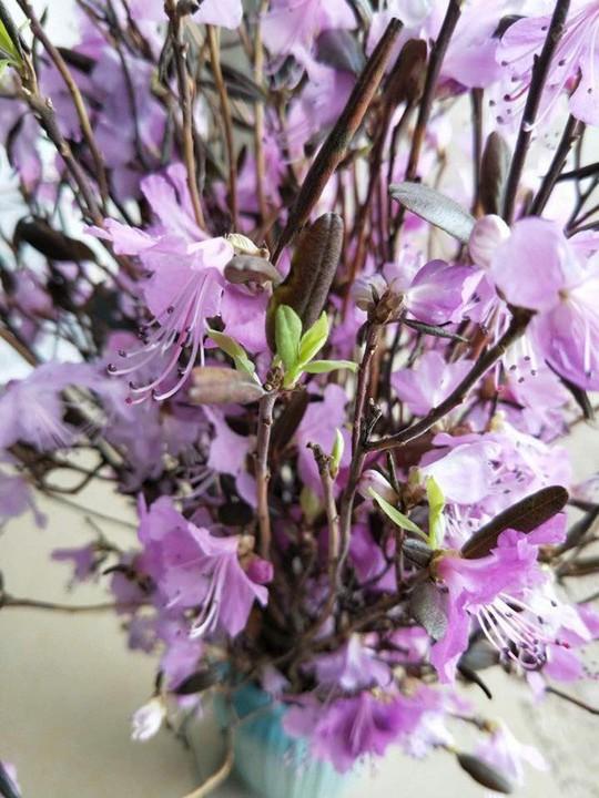Hoa đỗ quyên ngủ đông cũng có độc tố - Ảnh 1.