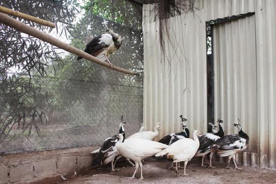 """Trang trại chim """"quý tộc"""", gà """"hoàng gia"""" tiền tỷ giữa Hà Nội - Ảnh 2."""