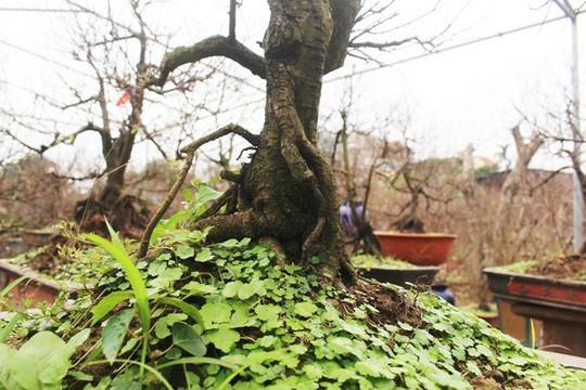 Vườn mai trắng độc đáo hiếm có ở Hà Nội - Ảnh 11.