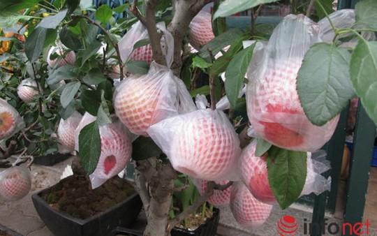 """""""Săn"""" táo bonsai trồng trong chậu cảnh chơi Tết - Ảnh 11."""