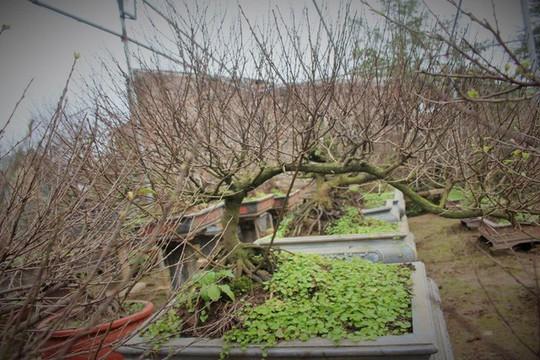 Vườn mai trắng độc đáo hiếm có ở Hà Nội - Ảnh 12.