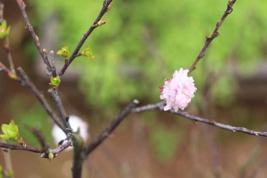 Vườn mai trắng độc đáo hiếm có ở Hà Nội - Ảnh 13.