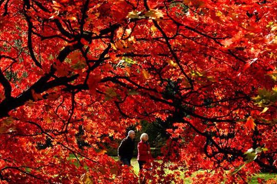 Ngắm hàng phong lá đỏ châu Âu lần đầu tiên được trồng ở HN - Ảnh 13.