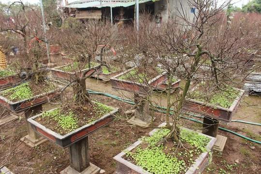 Vườn mai trắng độc đáo hiếm có ở Hà Nội - Ảnh 14.