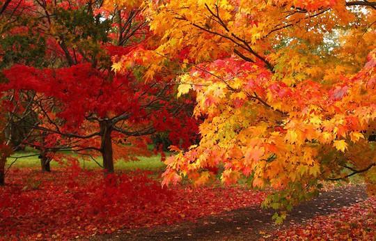 Ngắm hàng phong lá đỏ châu Âu lần đầu tiên được trồng ở HN - Ảnh 14.
