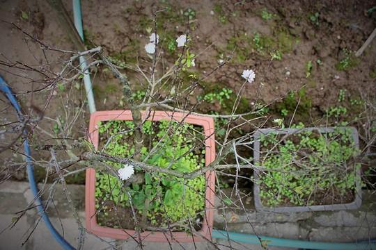 Vườn mai trắng độc đáo hiếm có ở Hà Nội - Ảnh 4.