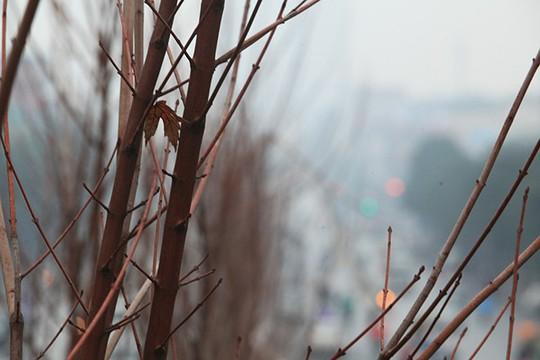 Ngắm hàng phong lá đỏ châu Âu lần đầu tiên được trồng ở HN - Ảnh 4.