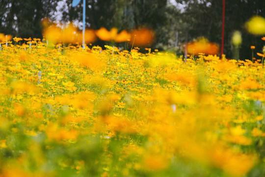 Không thể tin nổi giữa Sài Gòn có cánh đồng hoa đẹp đến thế! - Ảnh 4.
