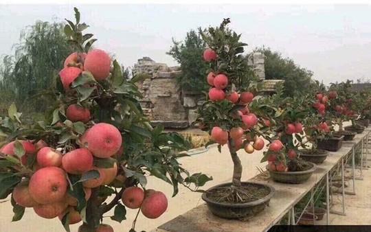 """""""Săn"""" táo bonsai trồng trong chậu cảnh chơi Tết - Ảnh 5."""