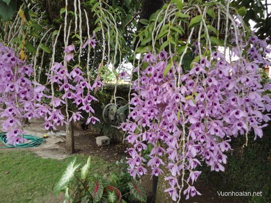 10 loại lan rừng đắt đỏ được ưa chuộng tại Việt Nam - Ảnh 5.