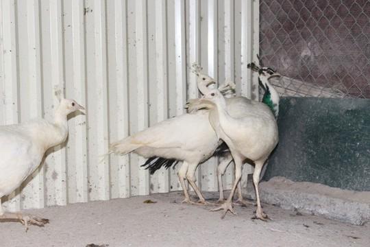 """Trang trại chim """"quý tộc"""", gà """"hoàng gia"""" tiền tỷ giữa Hà Nội - Ảnh 5."""