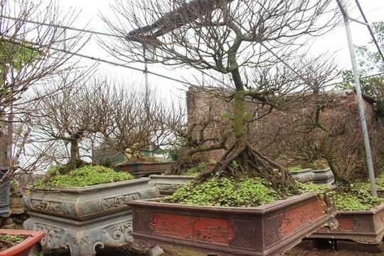 Vườn mai trắng độc đáo hiếm có ở Hà Nội - Ảnh 6.