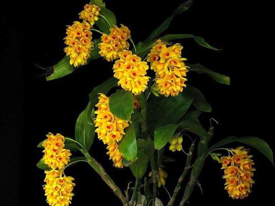 10 loại lan rừng đắt đỏ được ưa chuộng tại Việt Nam - Ảnh 6.
