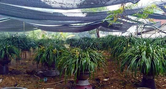 Mỏi mắt ngắm những vườn địa lan khủng nhất Việt Nam - Ảnh 6.