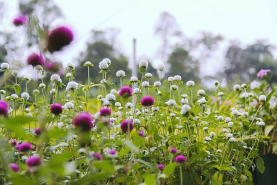 Không thể tin nổi giữa Sài Gòn có cánh đồng hoa đẹp đến thế! - Ảnh 6.