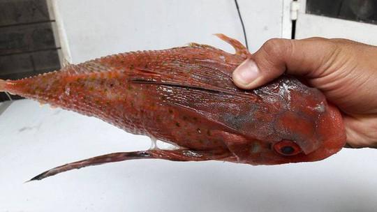 """Những đặc sản siêu """"độc"""" từ 4 loài cá xấu xí - Ảnh 6."""