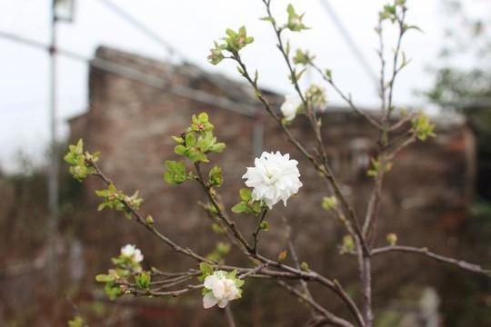 Vườn mai trắng độc đáo hiếm có ở Hà Nội - Ảnh 7.