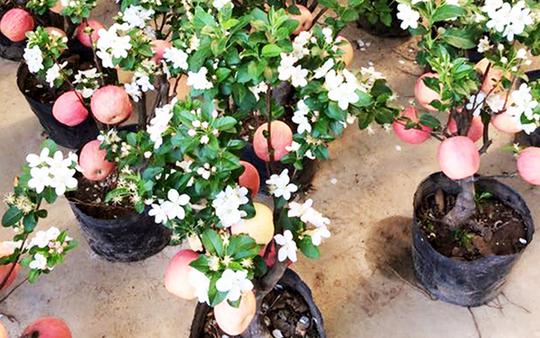 """""""Săn"""" táo bonsai trồng trong chậu cảnh chơi Tết - Ảnh 7."""