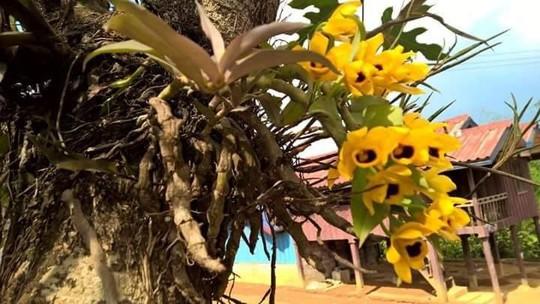 10 loại lan rừng đắt đỏ được ưa chuộng tại Việt Nam - Ảnh 7.