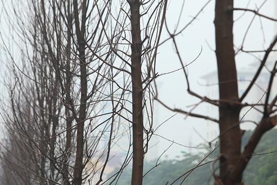 Ngắm hàng phong lá đỏ châu Âu lần đầu tiên được trồng ở HN - Ảnh 7.