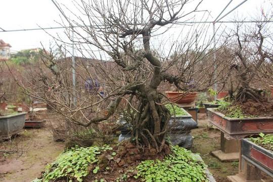 Vườn mai trắng độc đáo hiếm có ở Hà Nội - Ảnh 8.