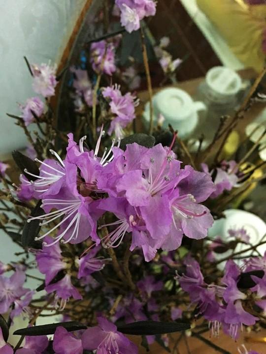 Hoa đỗ quyên ngủ đông cũng có độc tố - Ảnh 7.