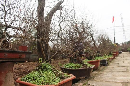 Vườn mai trắng độc đáo hiếm có ở Hà Nội - Ảnh 9.