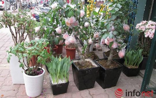 """""""Săn"""" táo bonsai trồng trong chậu cảnh chơi Tết - Ảnh 9."""