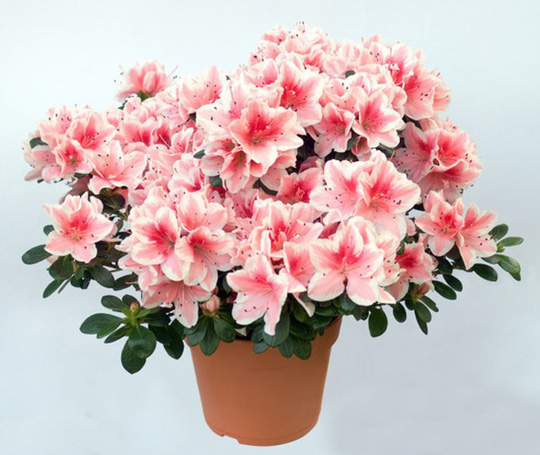 Chưng hoa gì vừa đẹp vừa tốt cho sức khỏe - Ảnh 9.