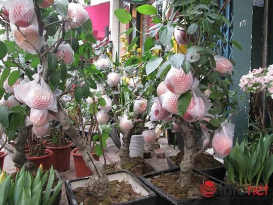 """""""Săn"""" táo bonsai trồng trong chậu cảnh chơi Tết - Ảnh 10."""
