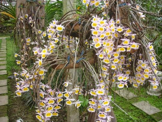 10 loại lan rừng đắt đỏ được ưa chuộng tại Việt Nam - Ảnh 10.