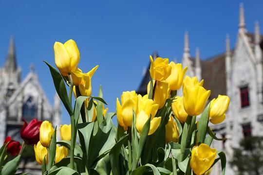 1 triệu bông tulip khoe sắc trên đỉnh Bà Nà - Ảnh 2.