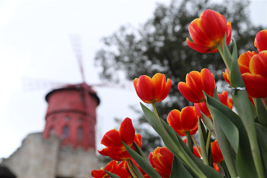 1 triệu bông tulip khoe sắc trên đỉnh Bà Nà - Ảnh 3.