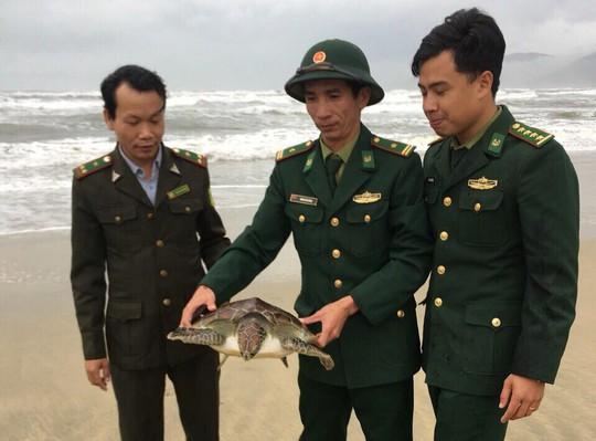 Thả một cá thể rùa biển quý hiếm về môi trường tự nhiên - Ảnh 1.