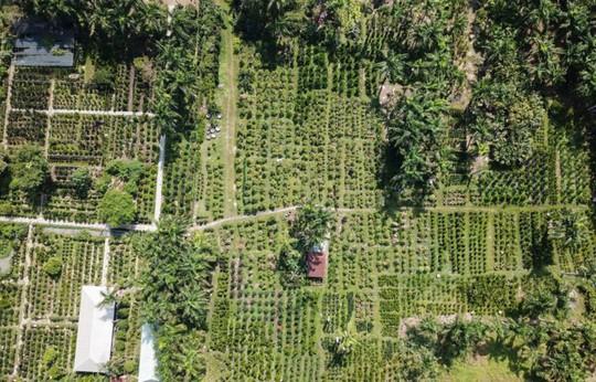 Tắc kiểng cho thuê giá 50 triệu đồng một cây ở Sài Gòn - Ảnh 1.