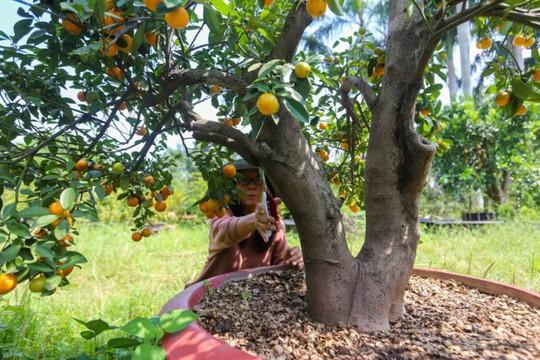 Tắc kiểng cho thuê giá 50 triệu đồng một cây ở Sài Gòn - Ảnh 3.
