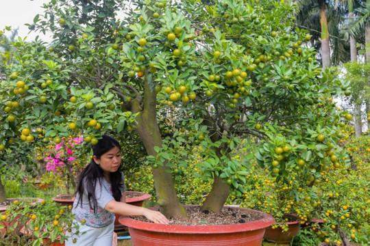Tắc kiểng cho thuê giá 50 triệu đồng một cây ở Sài Gòn - Ảnh 5.